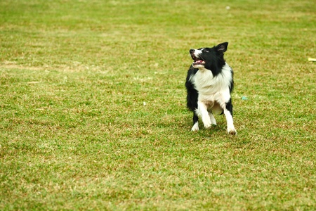 Border collie dog running on the lawn photo