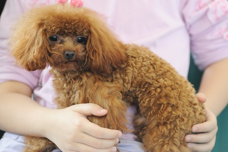 Asian kid holding a toy poodle dog in her arms photo