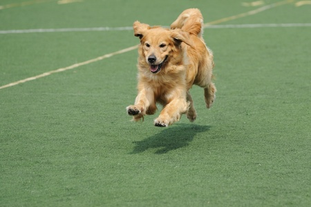 dog running: Golden retriever dog running on the playground