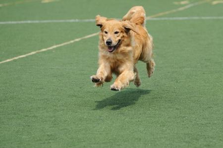 perro corriendo: Perro golden retriever que se ejecutan en el patio de recreo Foto de archivo