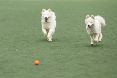 Two dogs running and chasing a ball on the playground photo