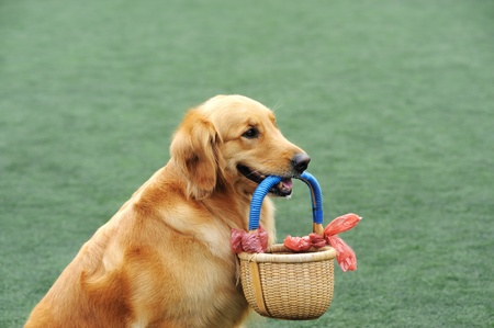 Golden retriever dog holding a basket in its mouth Standard-Bild