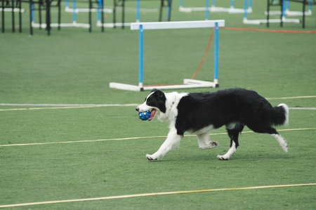 Border Collie holding a ball in the mouth and running on the playground photo