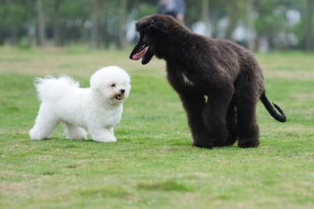perros jugando: Dos perros jugando juntos en el c�sped Foto de archivo