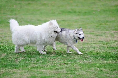 dogs playing: Two dogs playing together in the lawn Stock Photo