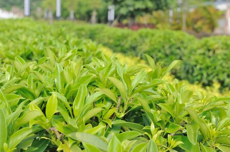 Detail view of green tea trees photo
