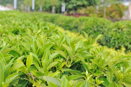 Detail view of green tea trees photo