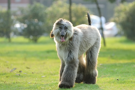 An afghan hound dog walking on the lawn photo
