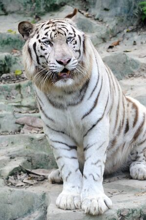 dignity: White tiger in the zoo