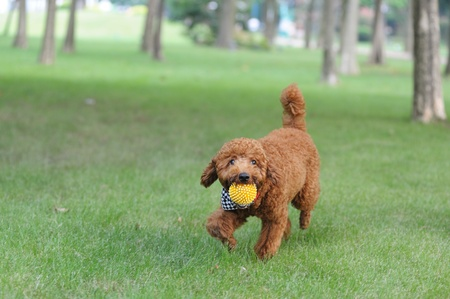 Brown poodle dog holding a ball in the mouth and running on the lawn