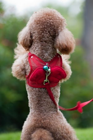 Back view of little poodle dog standing on hind legs photo