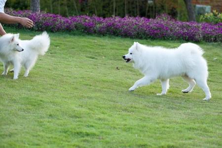 Samoyed dog running to the master photo