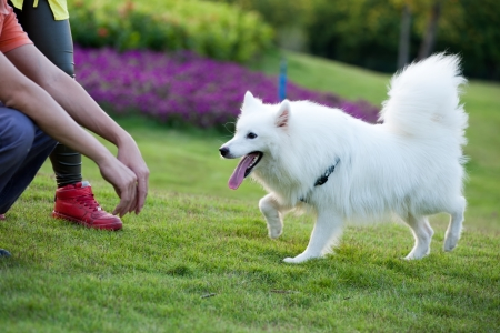 master: Samoyed dog running to the master