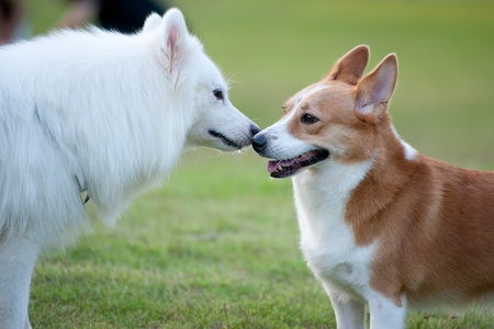 Two dogs ,Samoyed and Welsh Corgi, playing together on the lawn