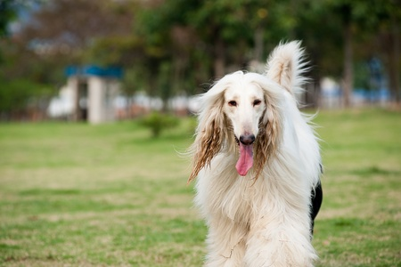 afghan: White afghan hound dog walking on the lawn Stock Photo