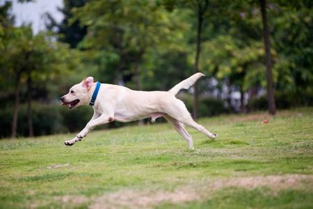 Funcionamiento del perro: Blanco labrador perro corriendo en el césped