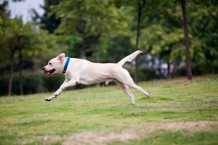 White labrador dog running on the lawn