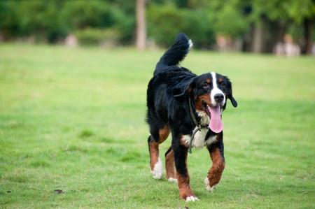bernese dog: Bernese mountain dog walking on the lawn