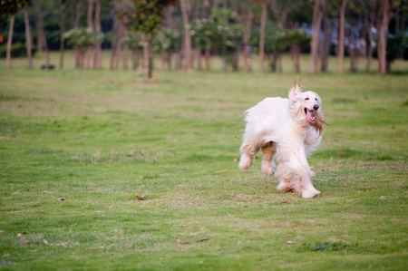 Afghan hound dog running on the lawn photo