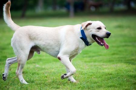 perro corriendo: Blanco labrador perro corriendo en el césped