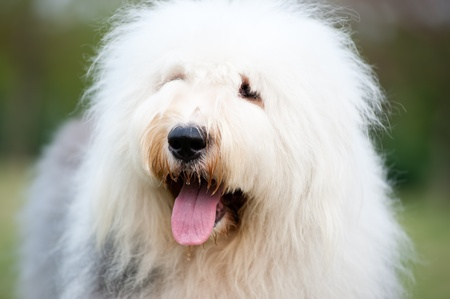 Portrait of an old English sheepdog photo