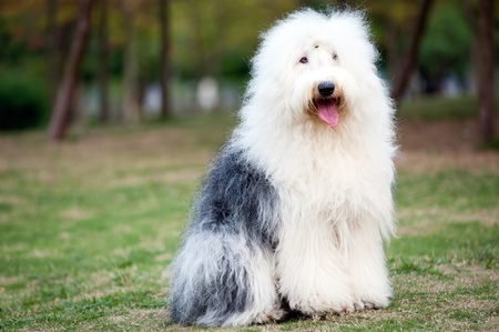 An old English sheepdog standing on the lawn photo