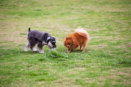 dog park: Miniature Schnauzer and Pomeranian dogs playing on the lawn Stock Photo