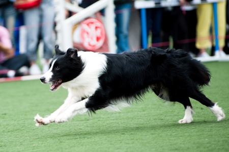 Border Collie running on the playground photo