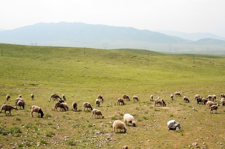 Goats grazing in the grassland in qinghai province, China photo