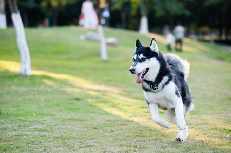 Alaskan Malamute dog running on the lawn photo