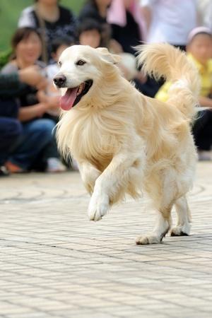 Golden retriever dog running on the ground Stock Photo - 11792634
