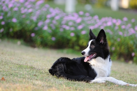 Border collie dog lying on the lawn Standard-Bild