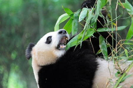 A giant panda lying on the ground and eating bamboo photo