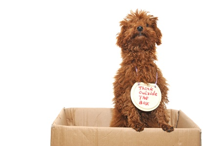 cute text box: Poodle dog thinking outside the box isolated on white Stock Photo