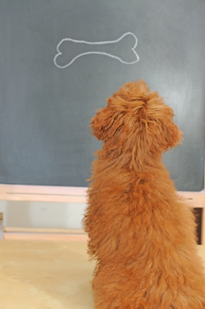 a little poodle dog having a class photo