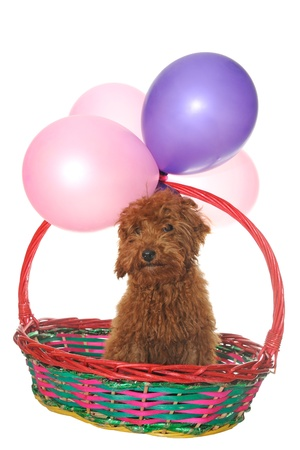 Dog in basket under balloons, isolated on white photo