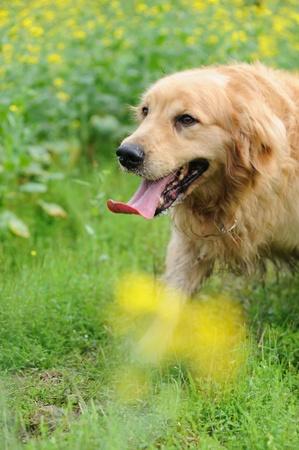 Golden retriever walking in rape flower field Stock Photo - 12907303