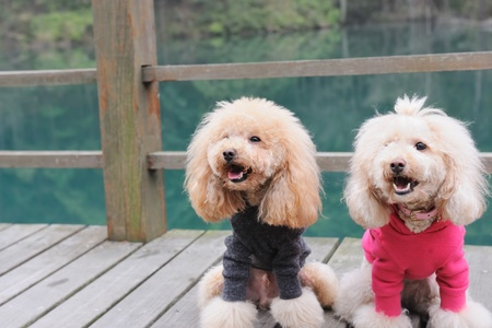lovely couple: Two poodle dog standing on wooden road near the river