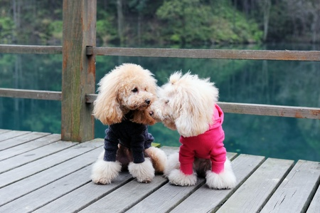 Two poodle dog standing on wooden road near the river photo
