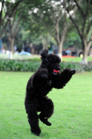 poodle: Black poodle dog holding a ball in the mouth and standing on hind legs Stock Photo