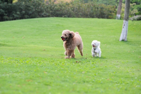 Two poodle dogs running on the lawn