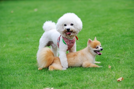 bichon: Bichon Frise and Pomeranian dogs playing together on the lawn Stock Photo