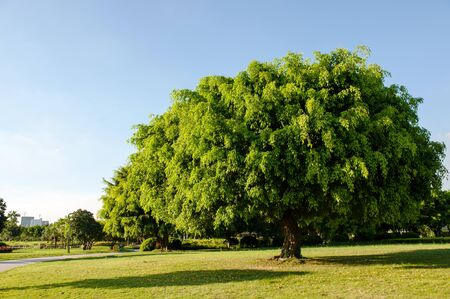 Banyan tree growing on the lawn in the park photo