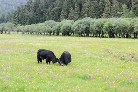 Two yak fighting on the meadow in Shangri-La national park, Yunnan province, China photo