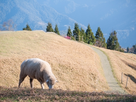 A little sheep grazing on the meadow