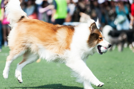 Collie dog holding a ball and running on the playground photo