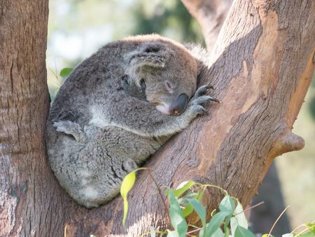 Koala bear sleeping in the tree branches