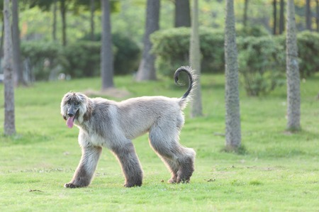 Afghan hound dog walking on the lawn photo