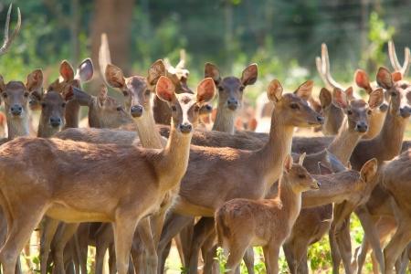 Groupe de cerfs Sika dans le champ herbeux