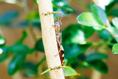 An adult locust, eating and hiding behind the branch, closeup  Stock Photo